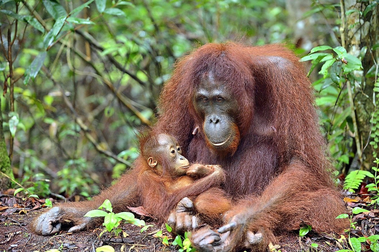 Bornean orangutan mother and cub in the Bornean rainforest of Indonesia. Image credit: Sergey Uryadnikov/Shutterstock.com