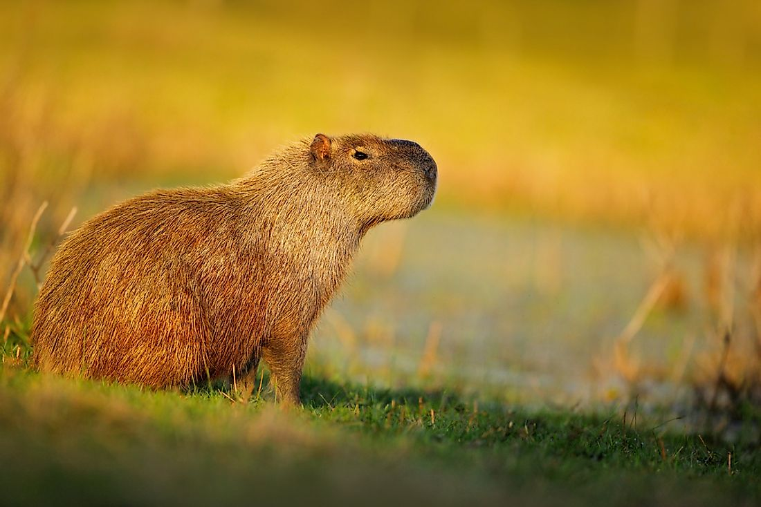 The capybara, the world's largest rodent.