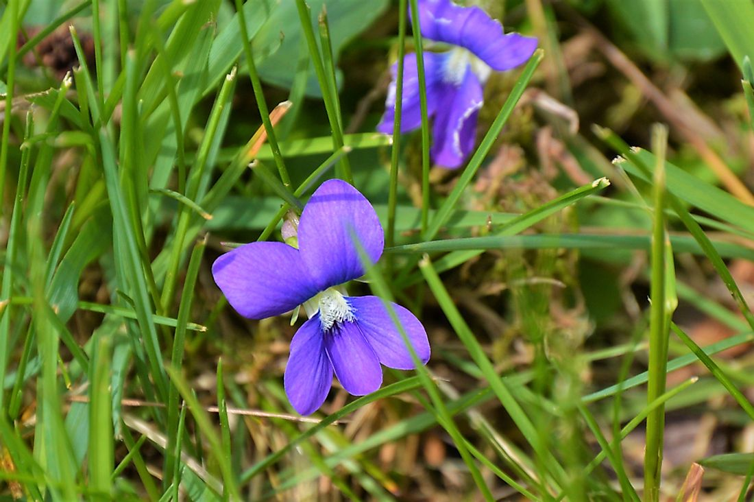 The common blue violet, the state flower of Illinois.