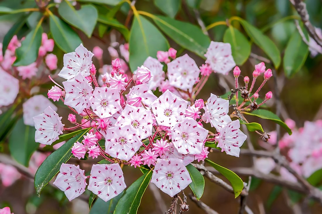 The mountain laurel is known for its beautiful star-shaped blossom.