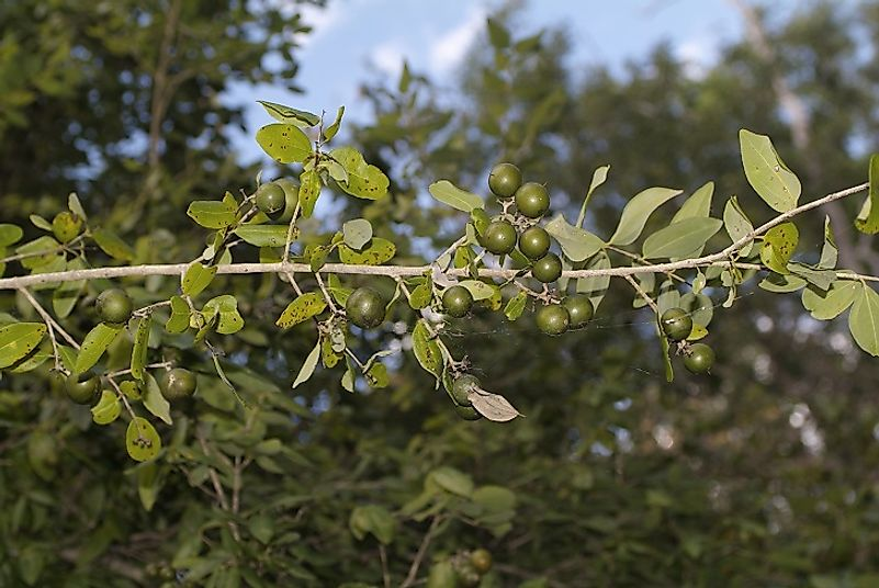 Alnwick's Strychnine trees' berries yield extremely poisonous seeds.