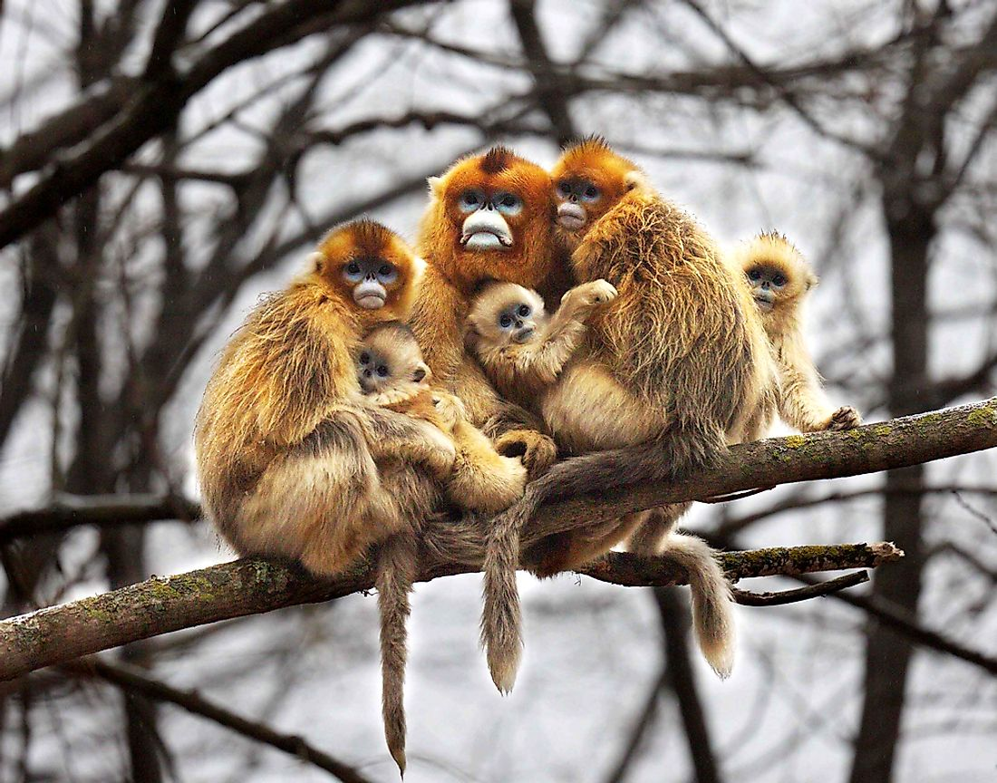 The Golden snub-nosed monkey is only found in southwest and central China.