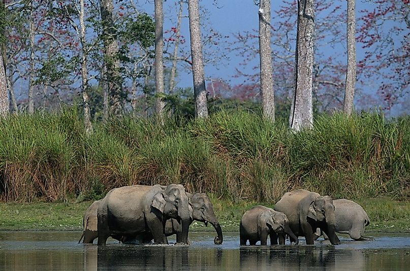 Elephants in the wetlands of Kaziranga National Park in eastern India's Assam state.