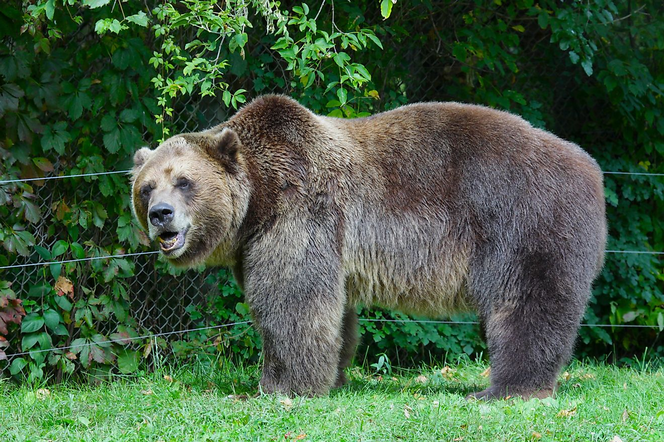 Protected Grizzly bears are among the West Yellowstone Discovery Center's biggest draws.