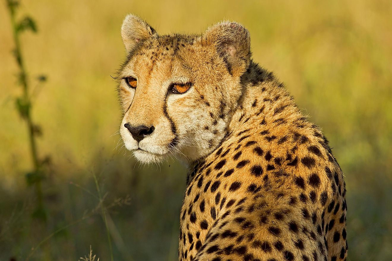 Cheetah in the African Bush - Shutterstock