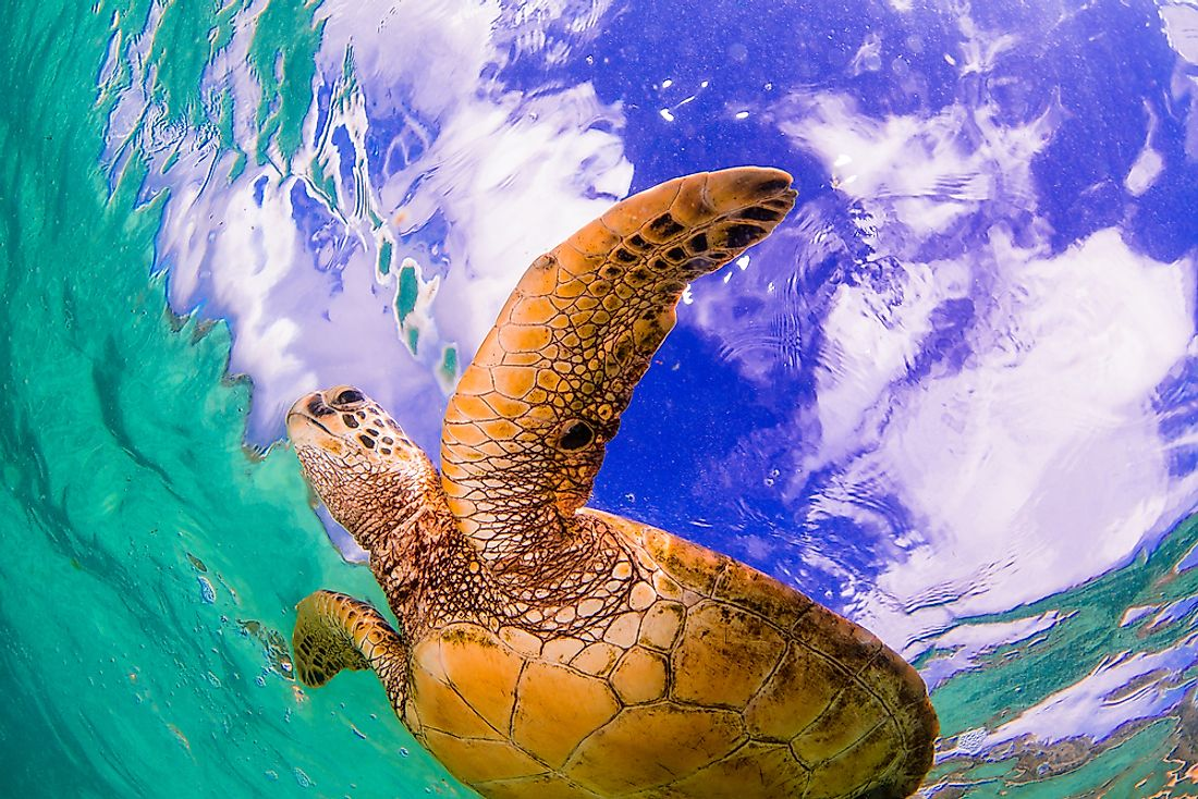 The Hawawiian Green Sea Turtle, an endangered species, is just one animal who calls the Pacific Ocean home.