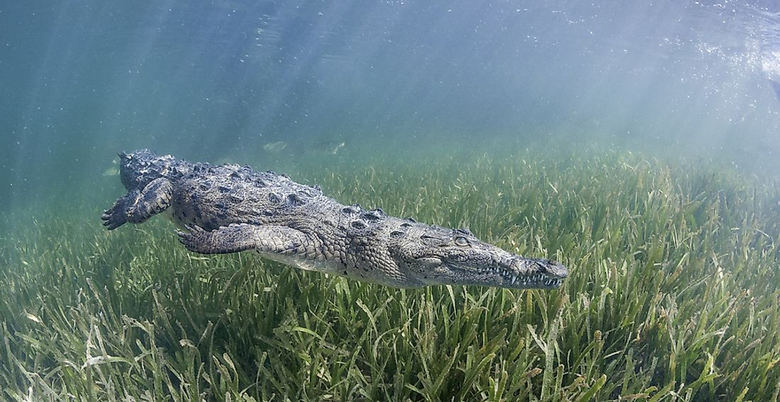 The critically endangered Cuban crocodile is found only in Cuba.