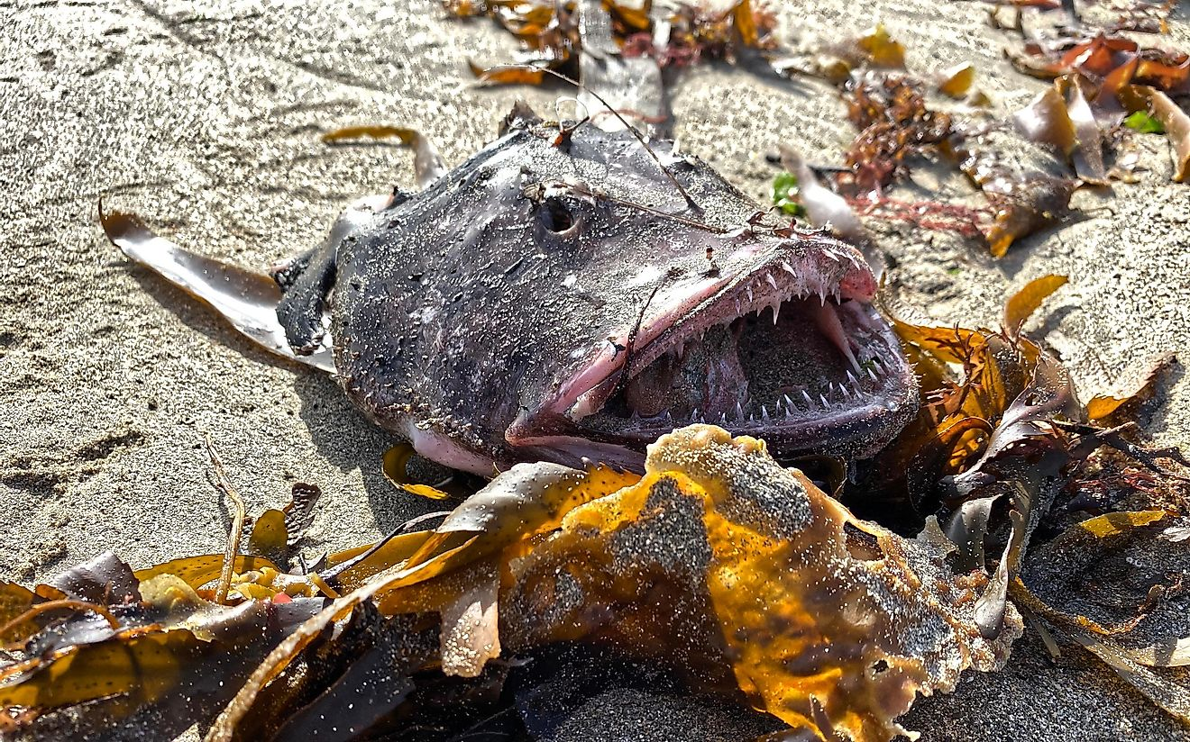 Certain subspecies of the anglerfish are starting to be recognized by Greenpeace, and added to their red list.