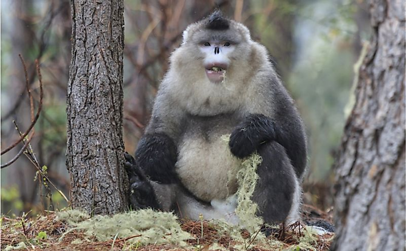 The Yunnan Black Snub-Nosed Monkey (Rhinopithecus Bieti) is closely related to Rhinopithecus avunculus.