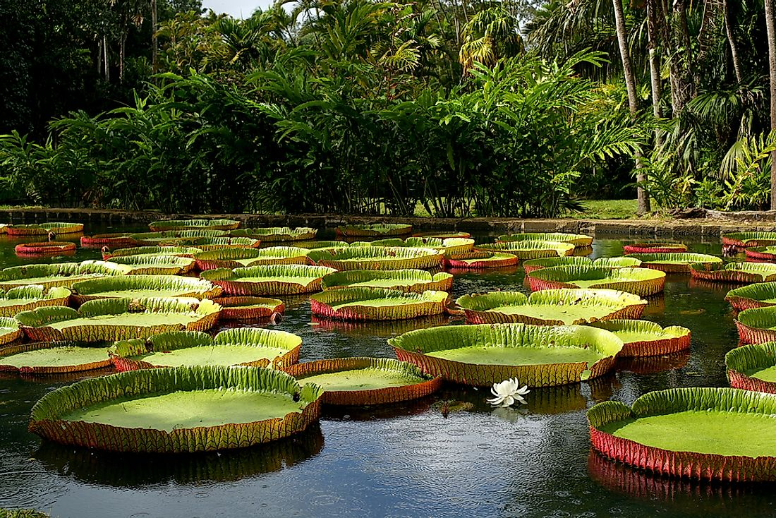 The white flowers of the Amazon water-lily bloom for about 48 hours.