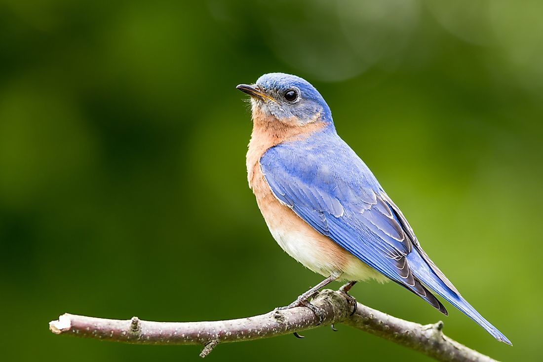 The eastern bluebird, the state bird of New York.