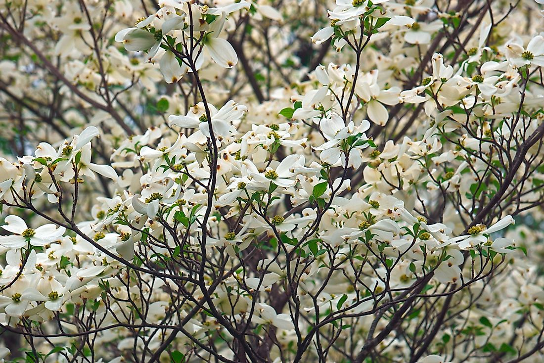 The flower of the American Dogwood tree is the state flower of Virginia.
