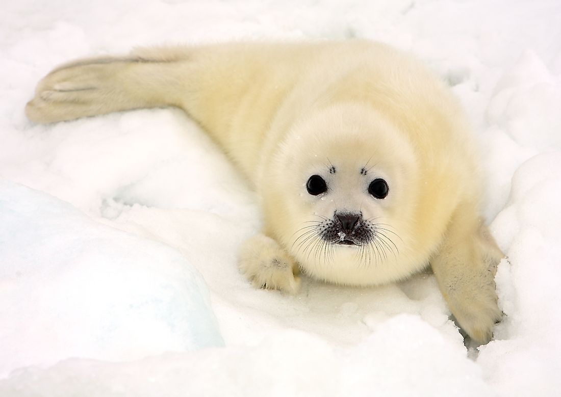 Young harp seals, such as this one on a frozen expanse of the White Sea, are much lighter in color than their adult counterparts.