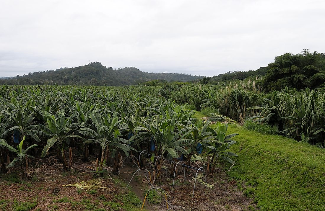 A banana plantation in Costa Rica.