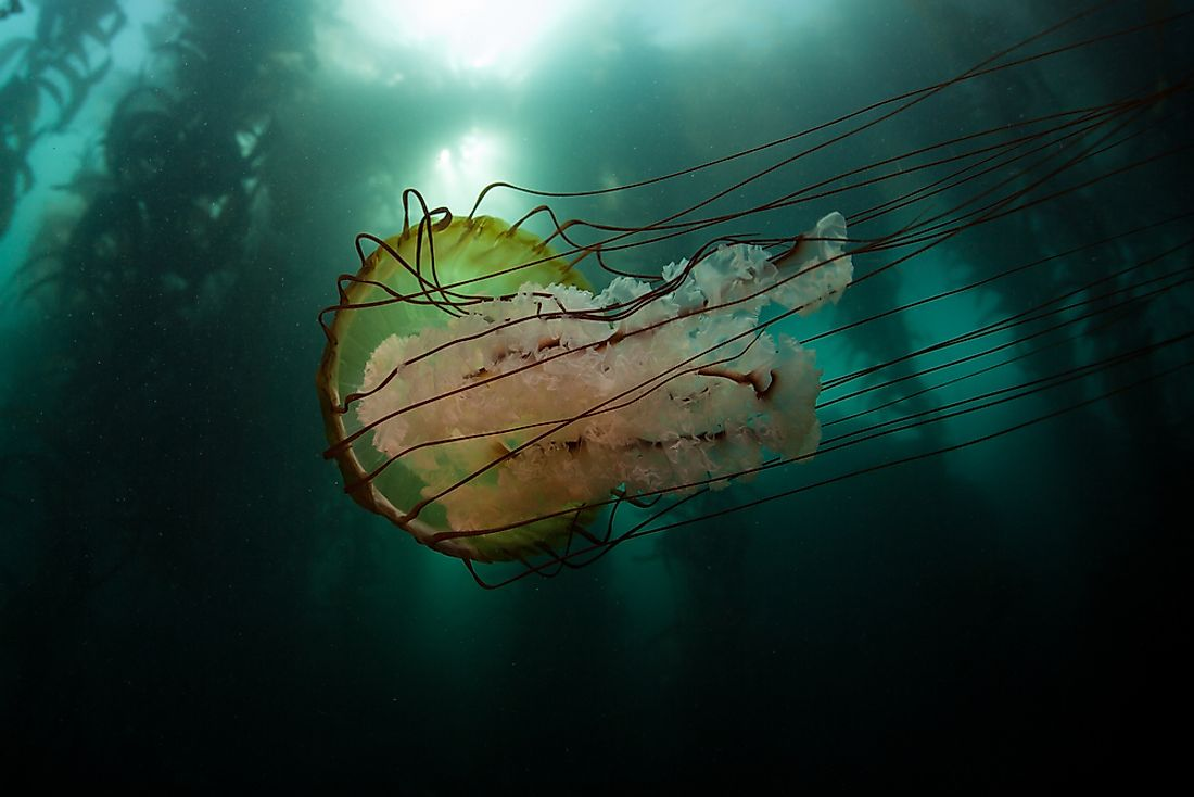 The bell of the Lion's Mane jellyfish can grow to be over 6 feet in diameter.