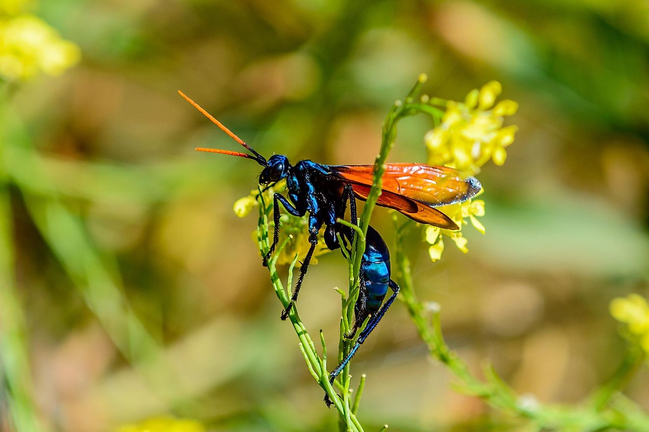 The bodies of these wasps can grow up to 2 inches in size, and they are also known for having beautiful, brightly colored wings.
