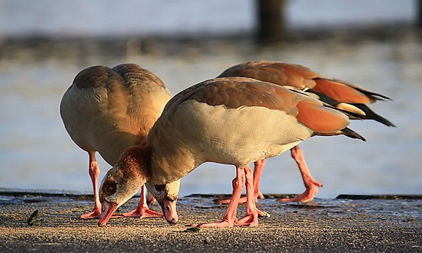 Three adult Egyptian geese in a zoo in Switzerland.