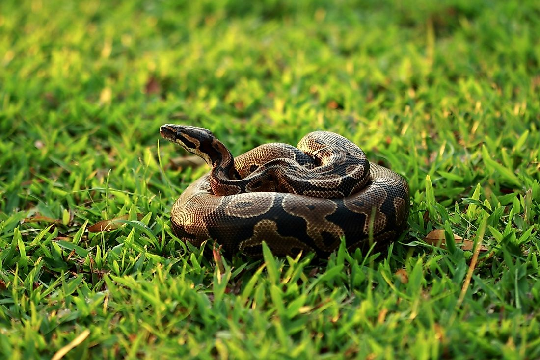 A ball python sitting in the grass.