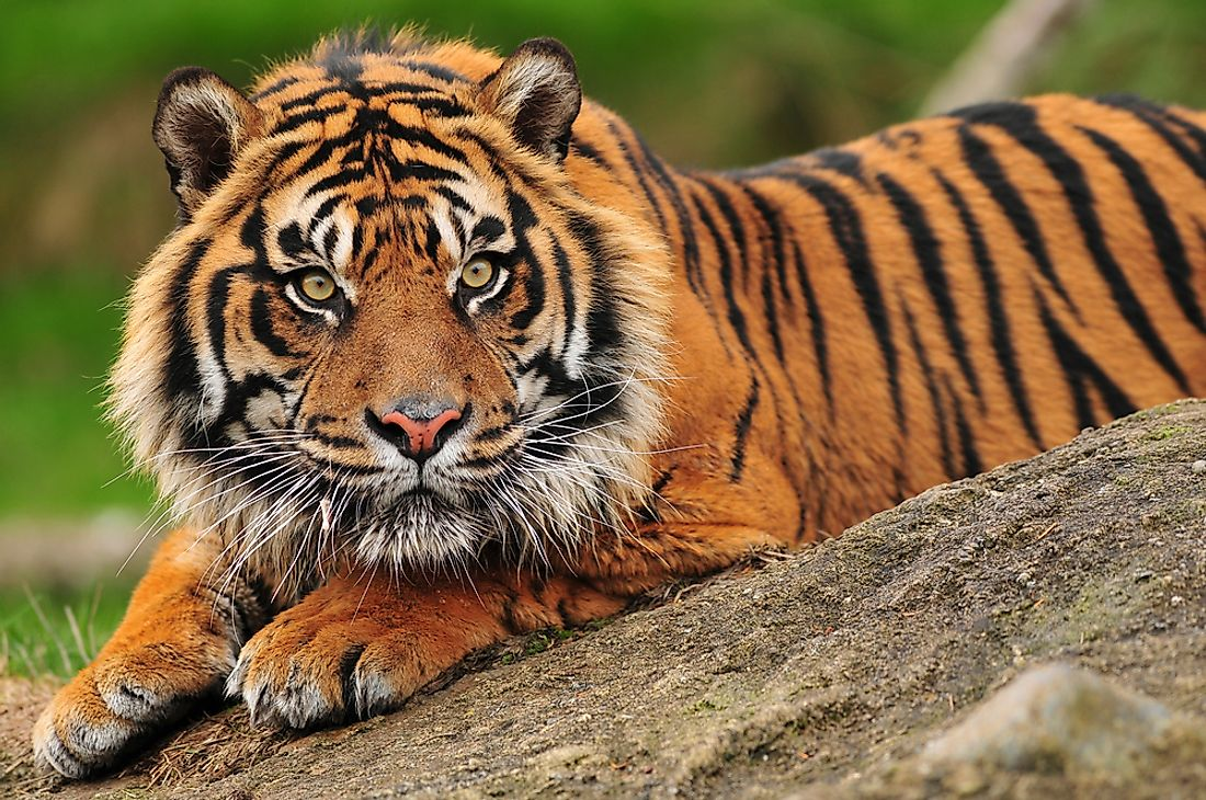 The Sumatran tiger is one of the smallest tiger subspecies.