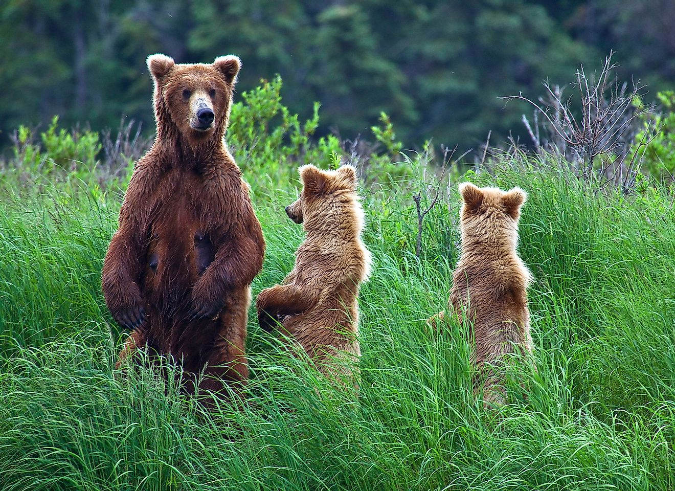 Grizly Bears at Katmai National Park, Alaska, USA. Image credit: Gleb Tarro/Shutterstock.com