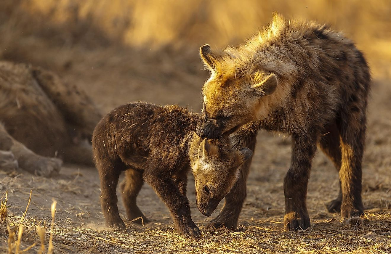 Hyenas are often thought of as vicious and sinister.