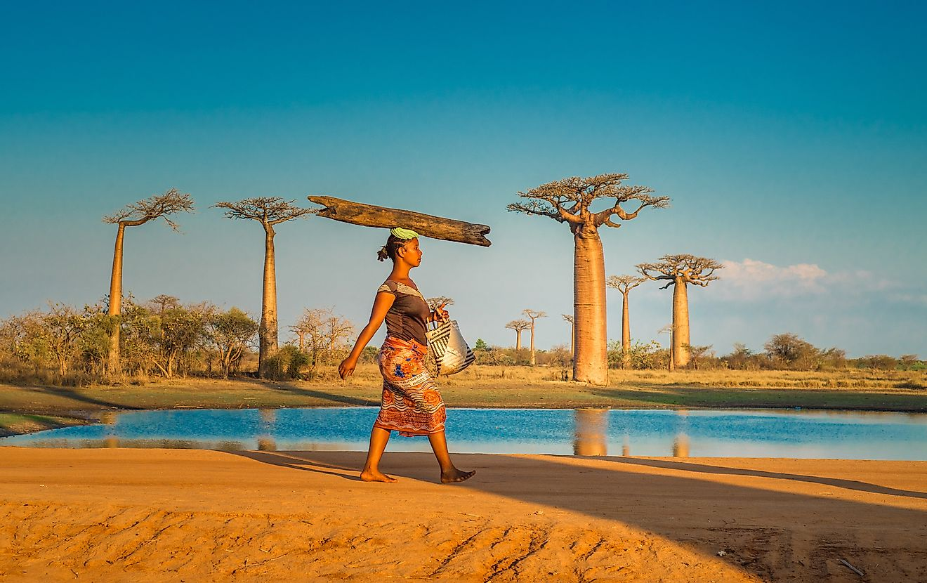 Woman carrying log on the head, Avenue of the Baobabs, Madagascar. Image credit:  javarman/Shutterstock.com