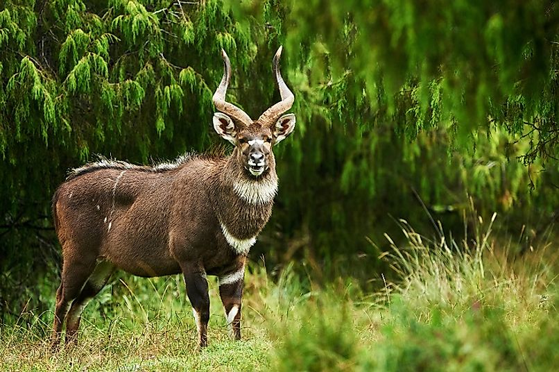 A male Mountain Nyala, or Balbok antelope, in Bale Mountains National Park in central Ethiopia.