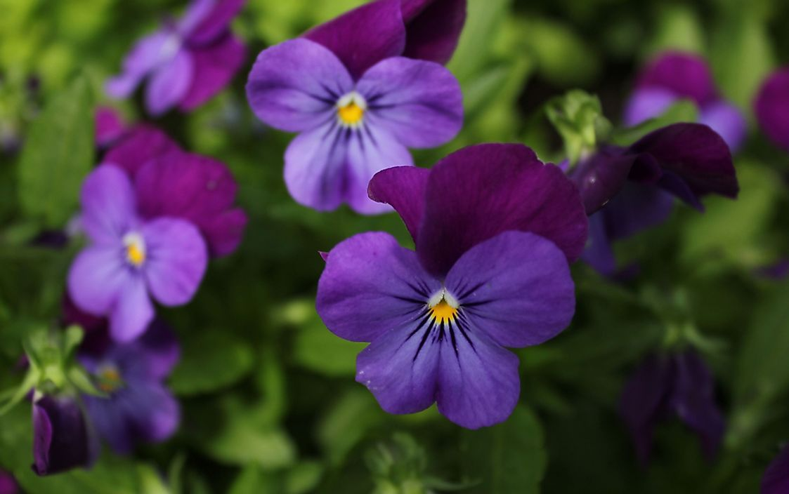 The purple violet, the official flower of New Brunswick.