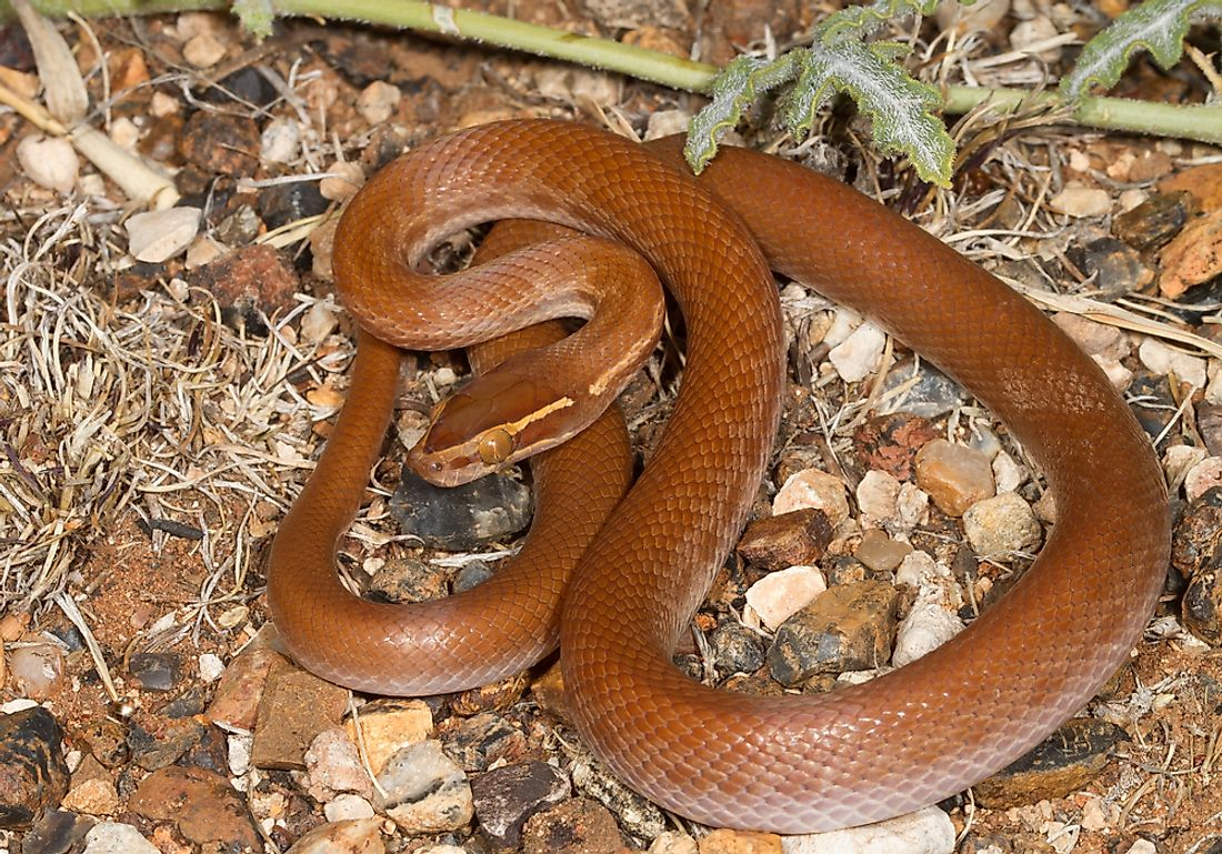 The Cape house snake can be found throughout Mozambique.