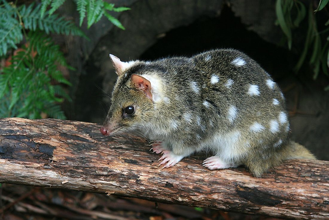 The eastern spotted quoll, thought to be extinct, was rediscovered in 2007.