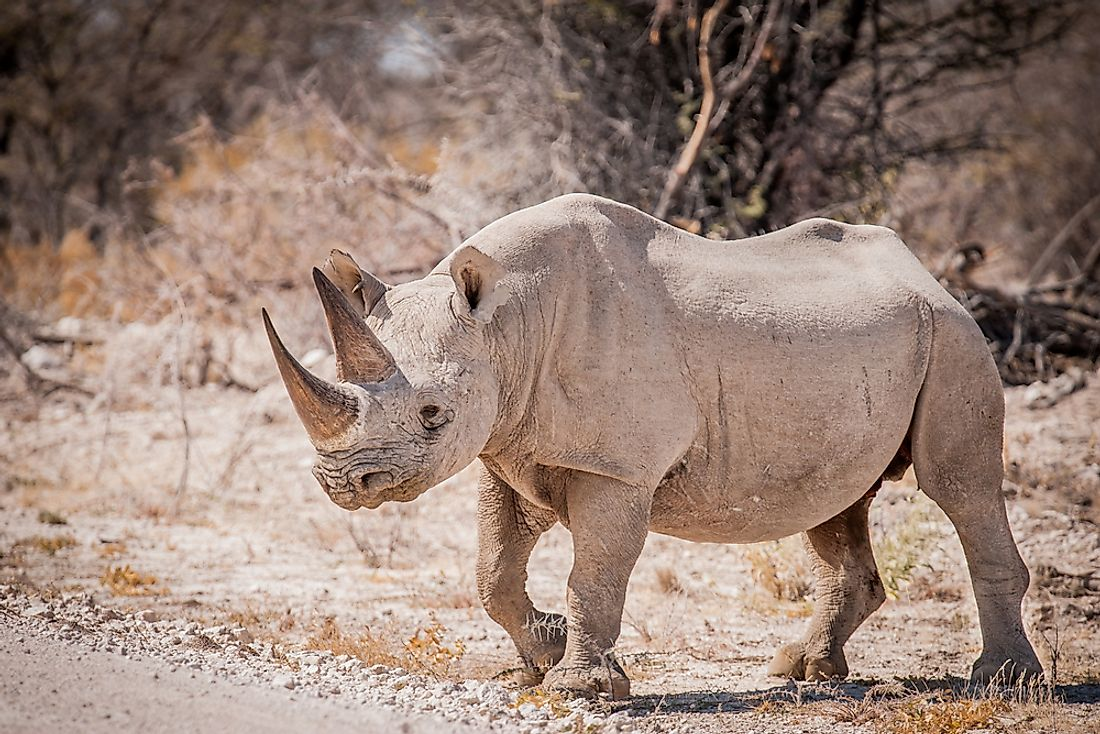 The Western Black Rhinoceros was a subspecies of the Black Rhinoceros pictured here.