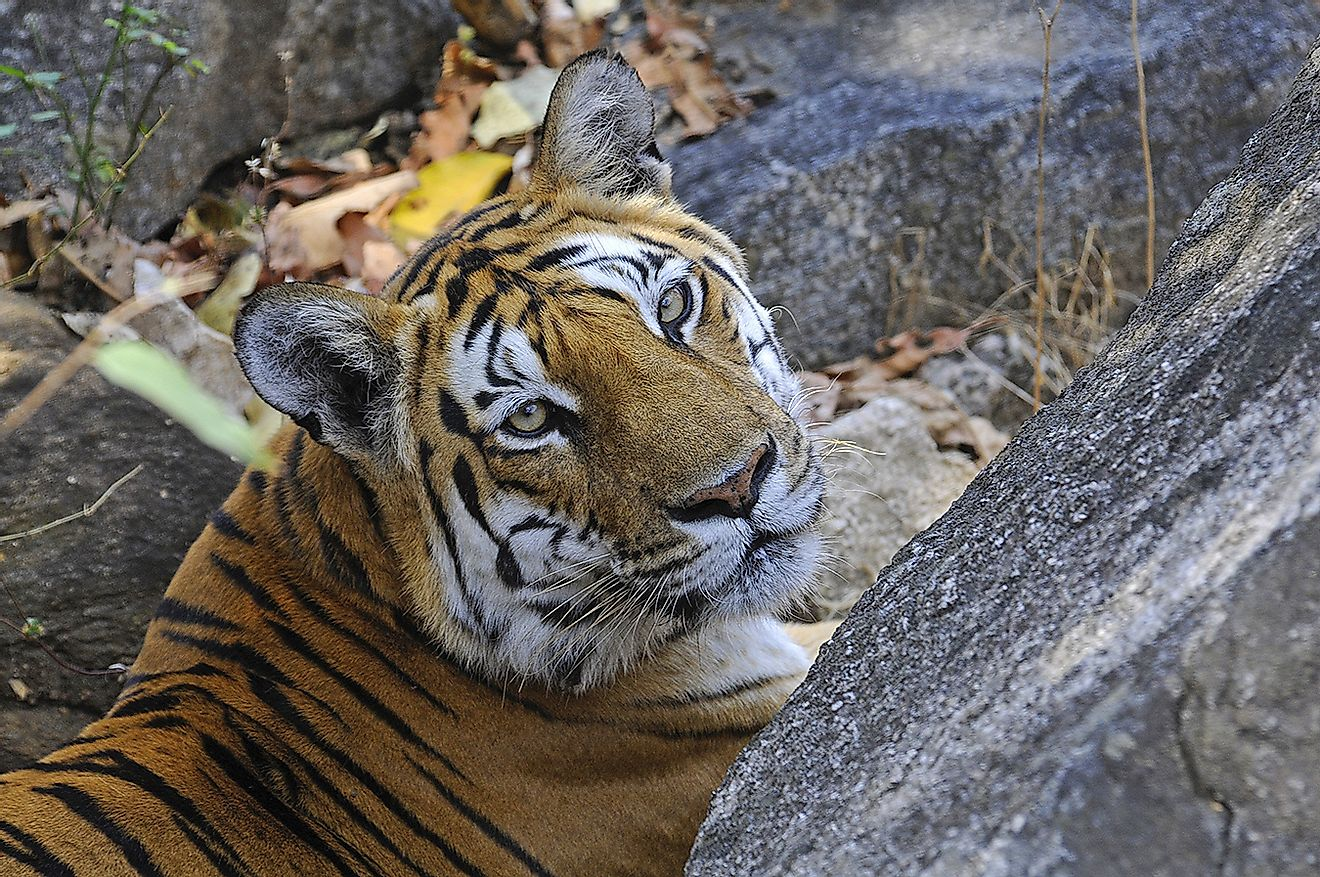Spotlight on a gorgeous tigress. Image credit: Dr. Anish Andheria