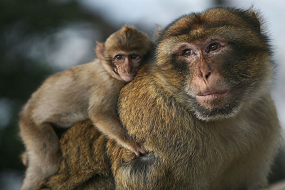 A barbary macaque with baby.