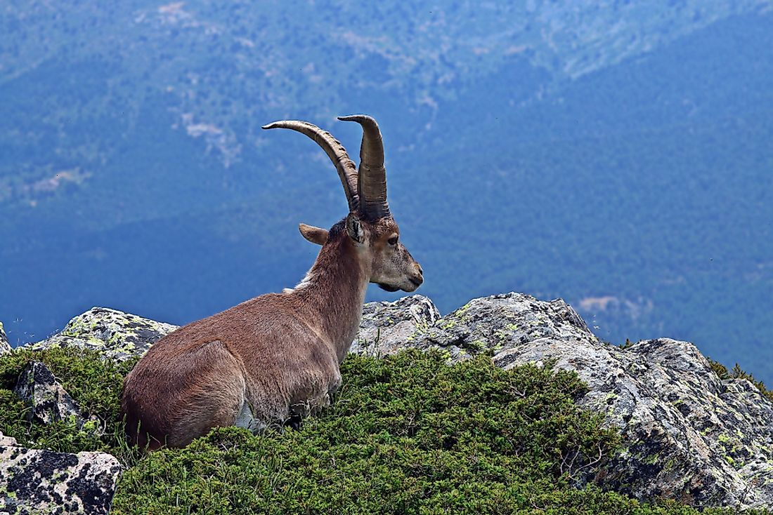The Spanish ibex is found across the plains and the rocky mountains of both Spain and Portugal.