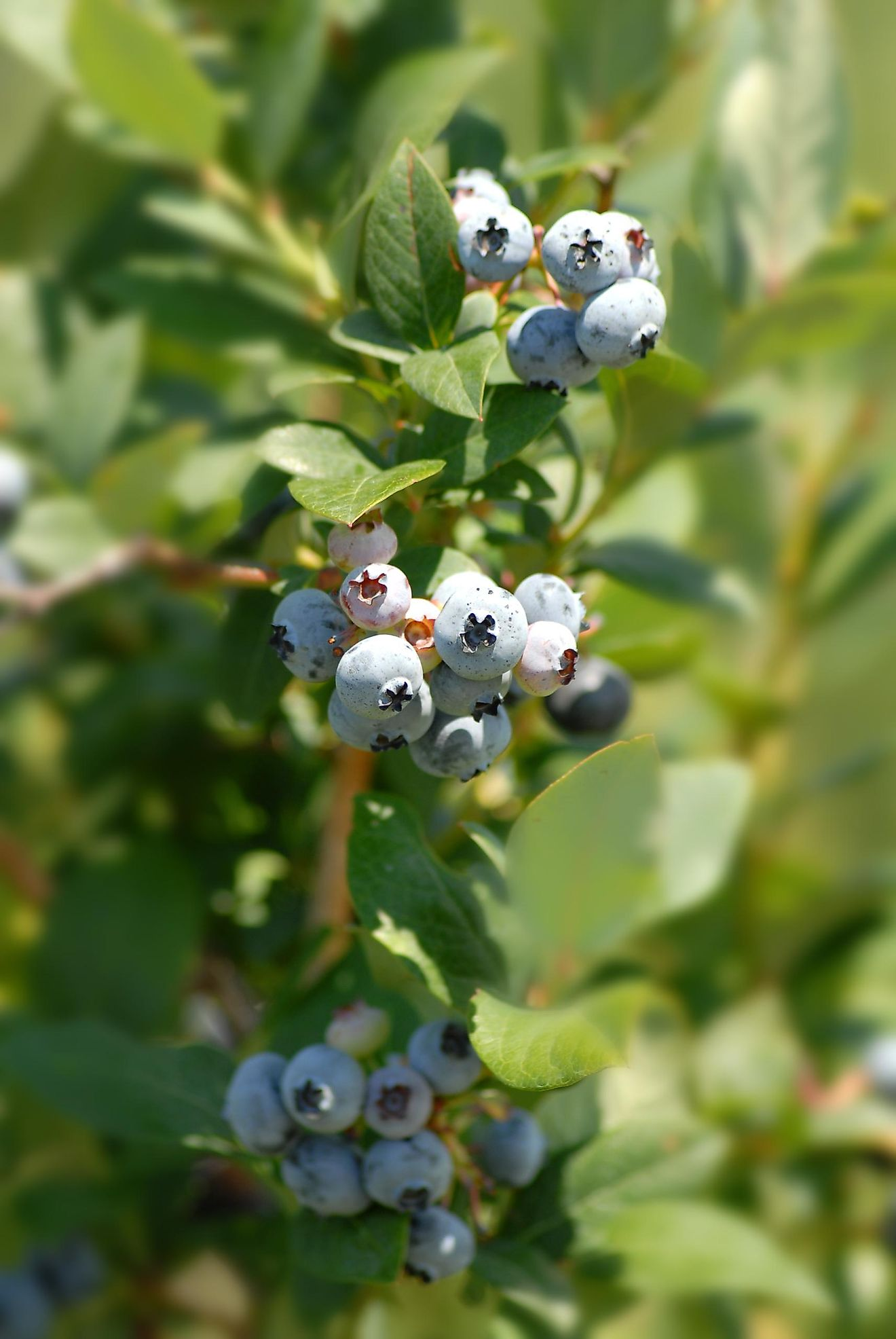 Bushes full of ripe blueberries on a farm in the US state of Michigan.
