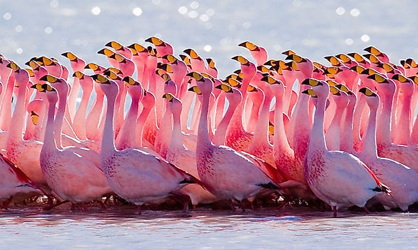 The mating ritual performed by James's flamingo, wading birds famous for their beauty.