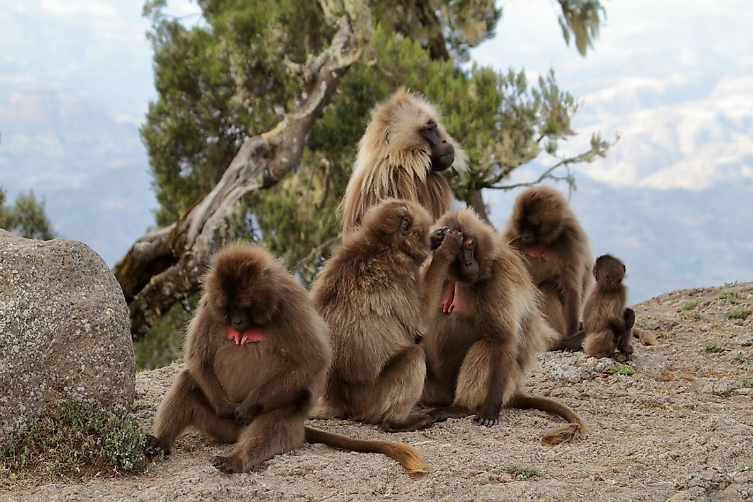 Baboons in the Simien Mountains of Ethiopia.