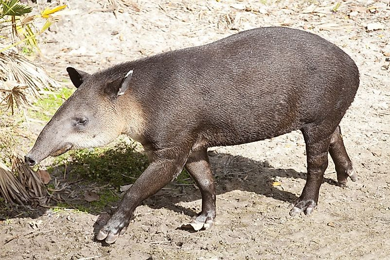 A Baird's Tapir, the National Animal of Belize.