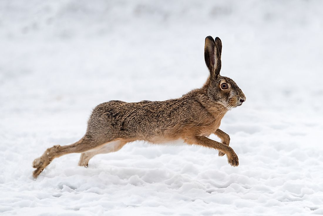 A hare running through a field.