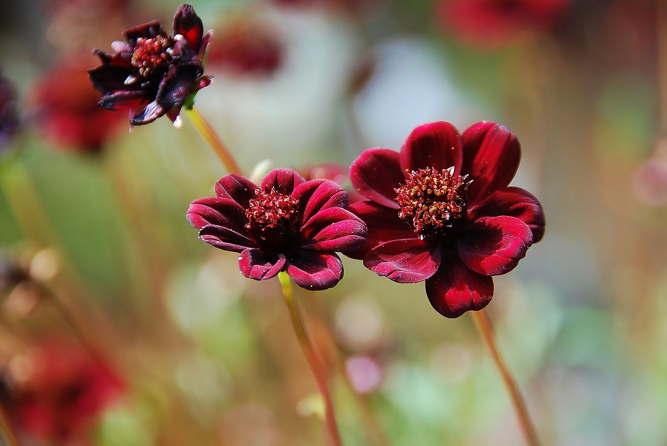 Chocolate Cosmos is one of the rarest flowers in the world. Image credit: Petratrollgrafik/Shutterstock.com