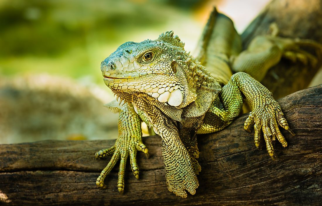Scientists explain that the iguanas are just slowed down, as their body temperature drops due to the cold.