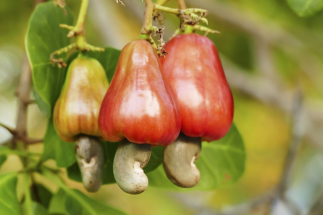 Cashews growing on a tree in a tropical garden.