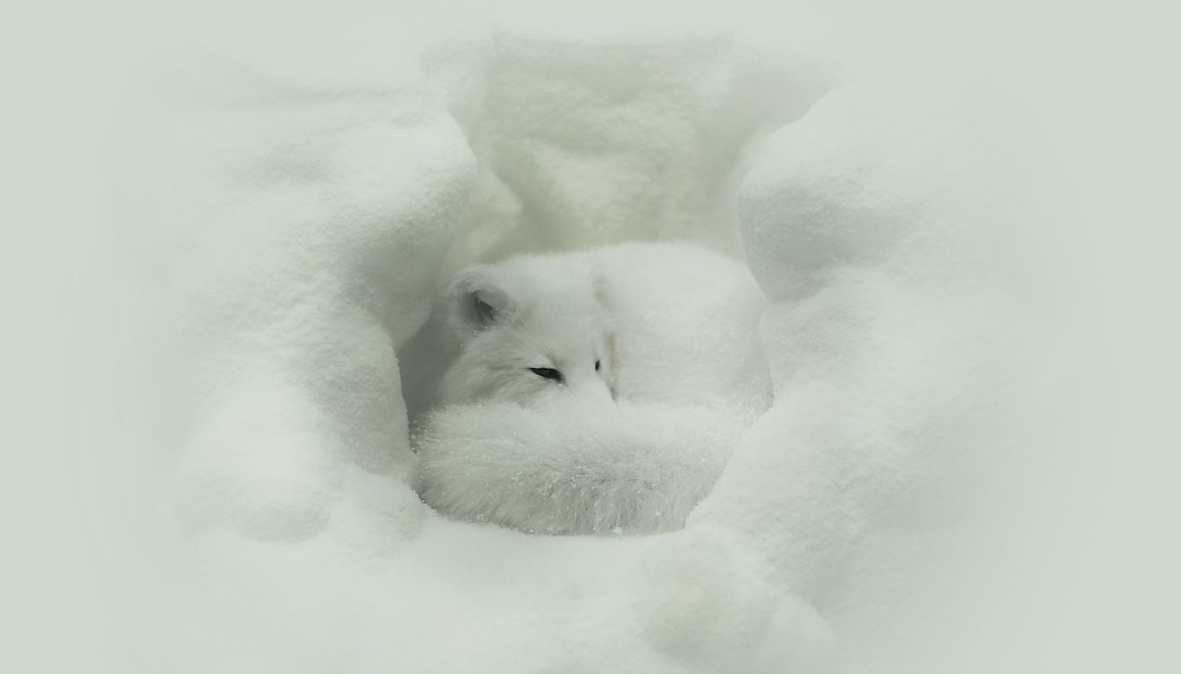 The white winter coat of the Arctic Fox allows it to easily blend in to the snow-covered landscapes that surround it.