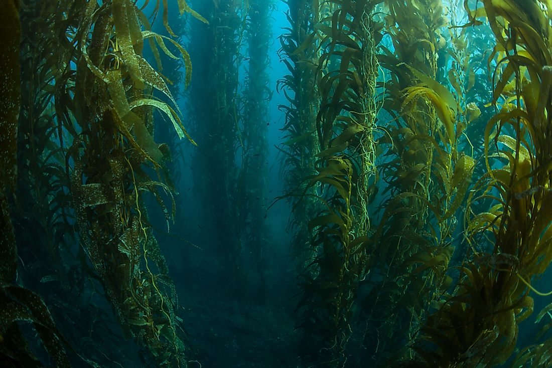 A kelp forest off the coast of California.