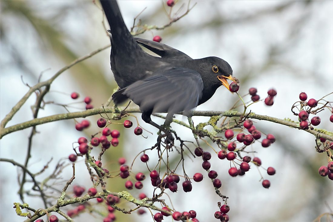 A Common Blackbird (Turdus merula) retrieving a berry from a tree.