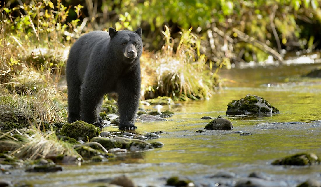 Black bears are considered to be the fastest bear species.