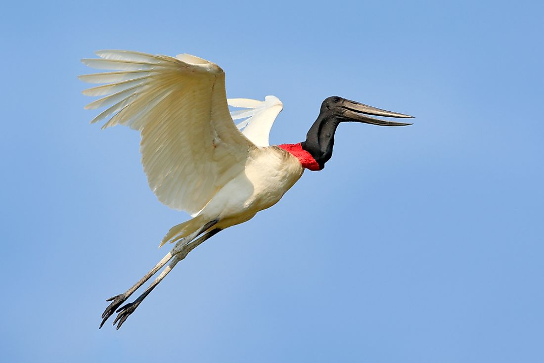 The Jabiru stork is the tallest flying bird of Central and Southern America.