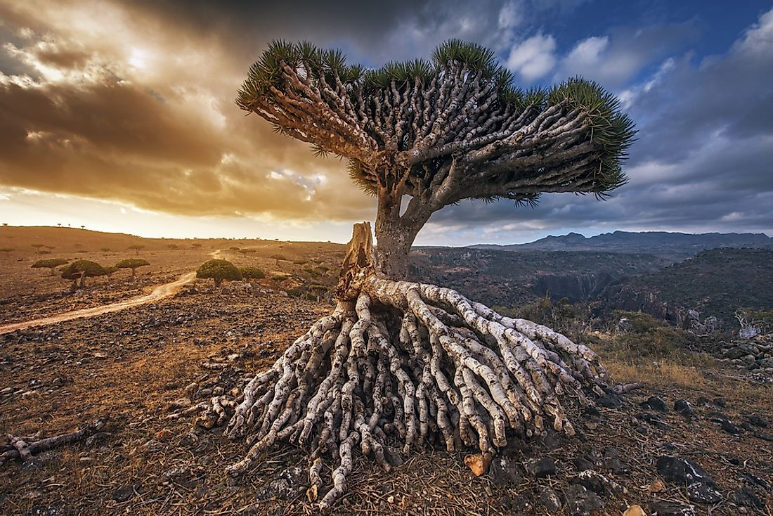 The dragon's blood tree (Dracaena cinnabari) is native to the Socotra archipelago.