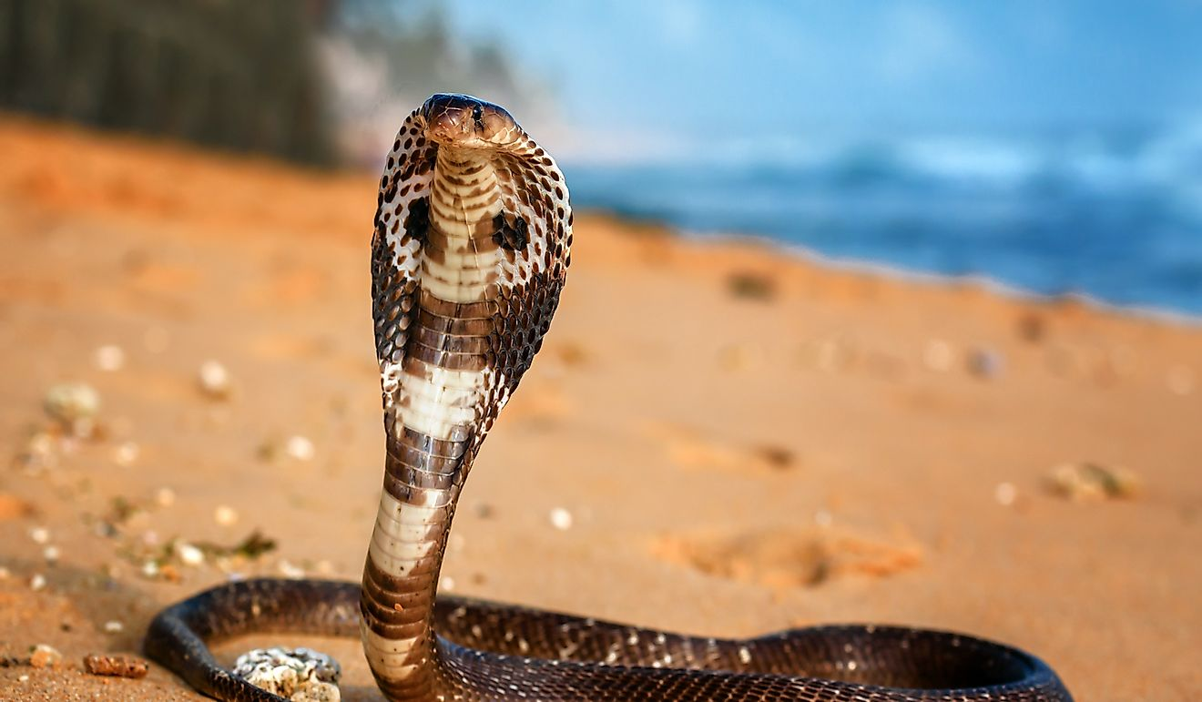 King cobra on the beach sand.