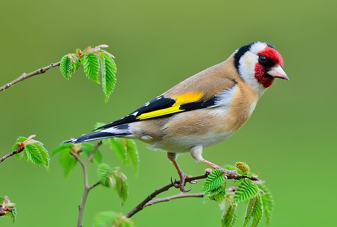 Goldfinch on a Rowan tree.